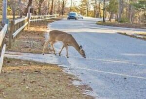 Deer-and-car-insurance
